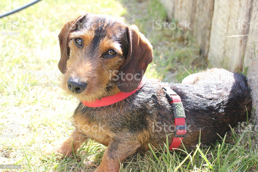 Wire haired sausage dog puppy stock photo