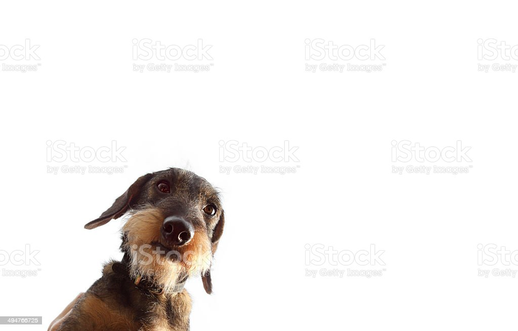 wirehaired dachshund dog on white background close up stock photo