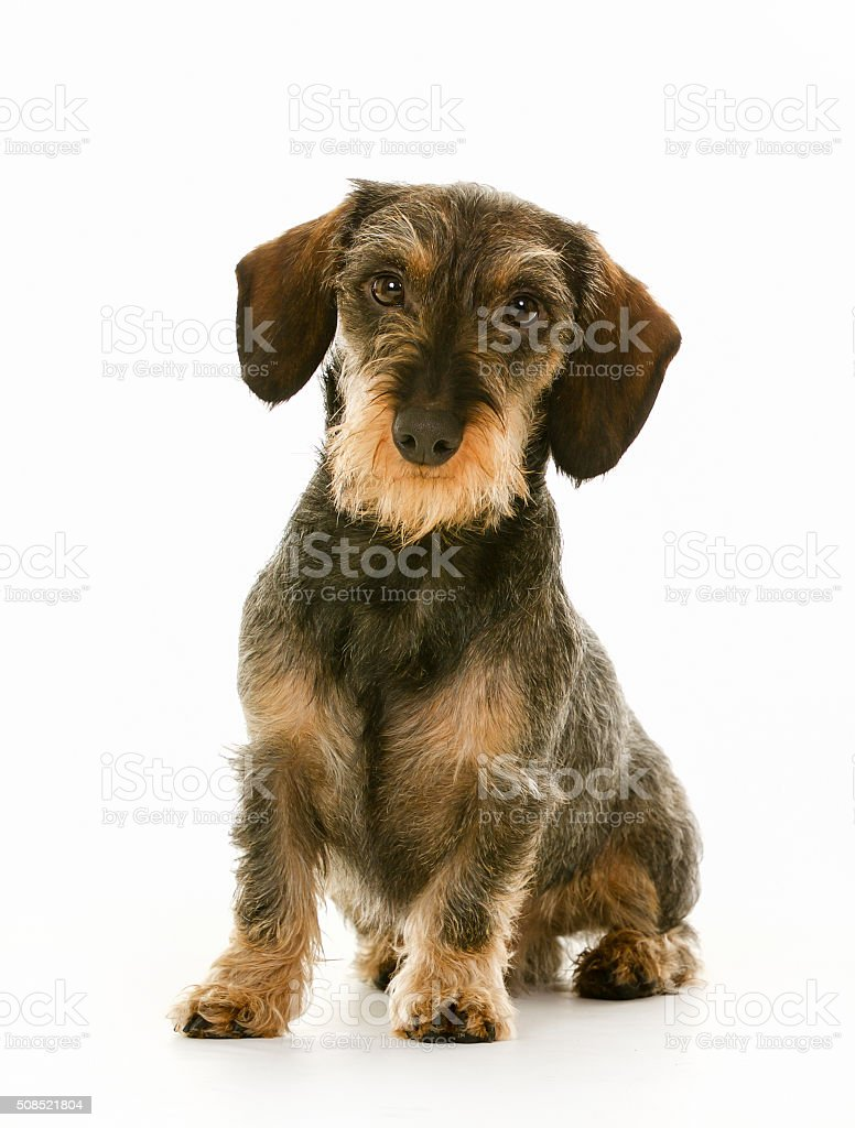 Wirehaired dachshund dog puppy stock photo