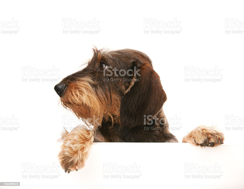 wire-haired dachshund looking away at copy space stock photo