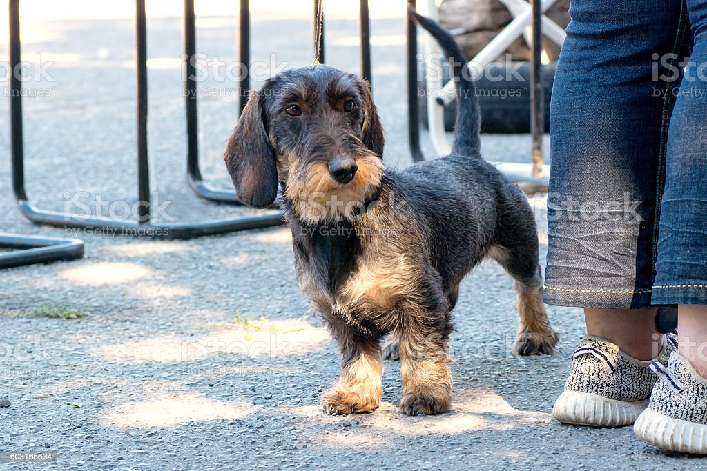 Wirehaired Dachshund peeking out stock photo