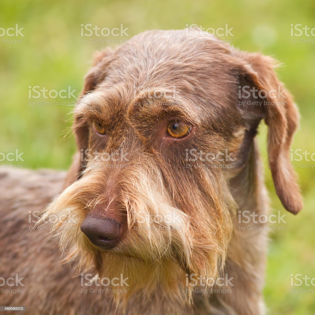 Wire-haired dachshund stock photo