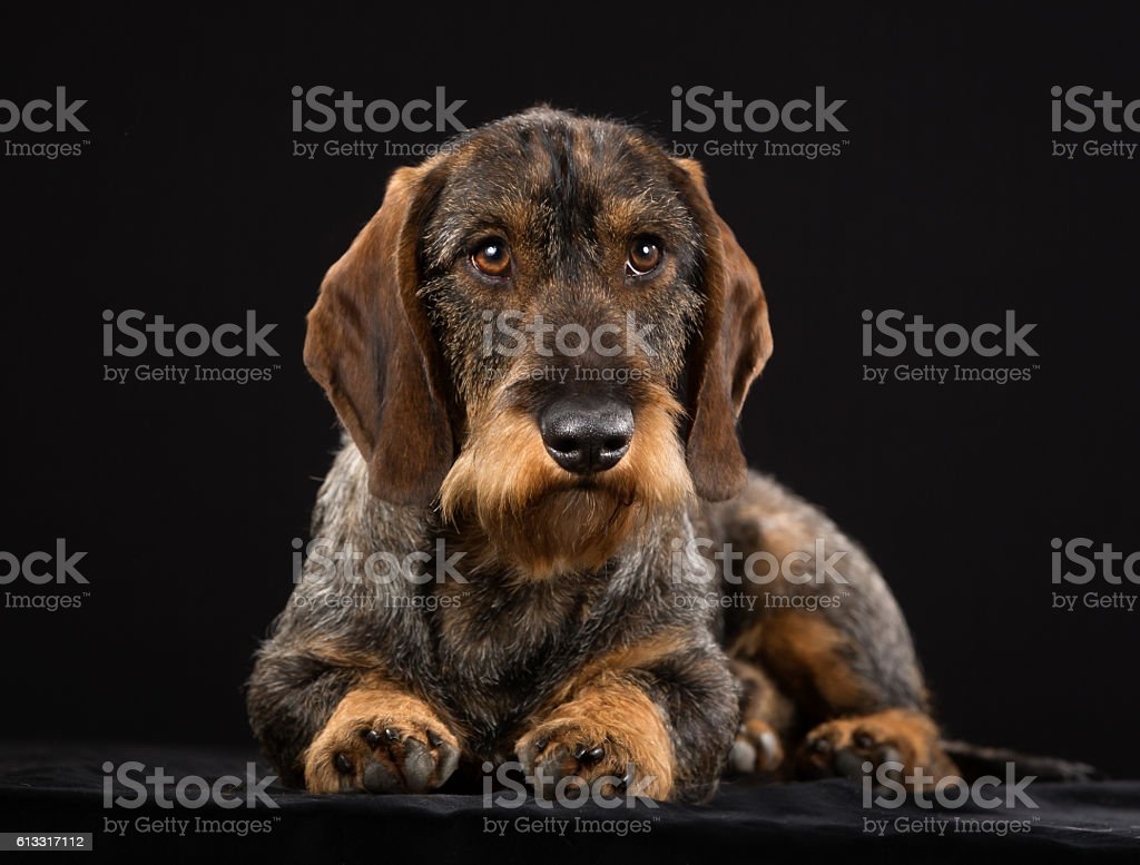Wirehaired dachshund stock photo