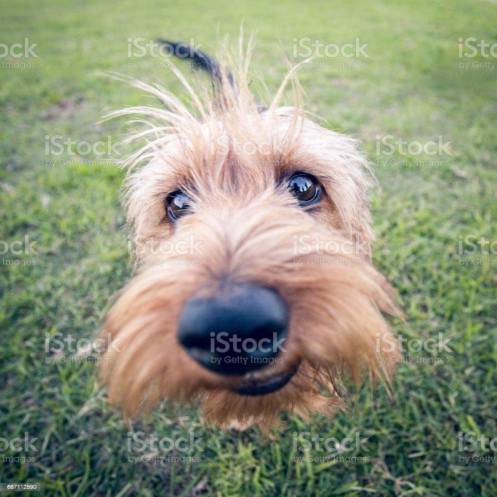 Wirehaired Dachshund Puppy Closeup stock photo