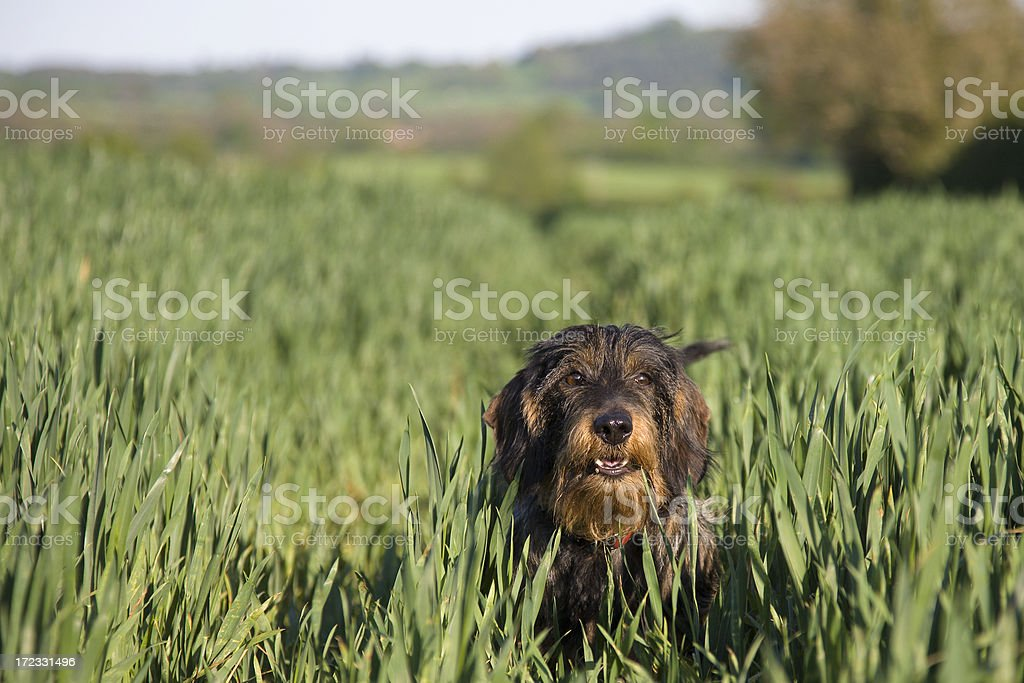 wirehaired dachsy stock photo