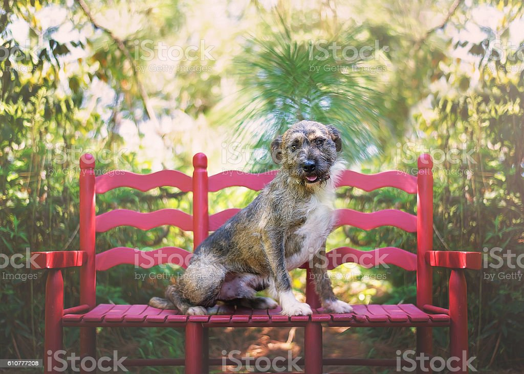 Wirehaired Dog on Red Bench stock photo