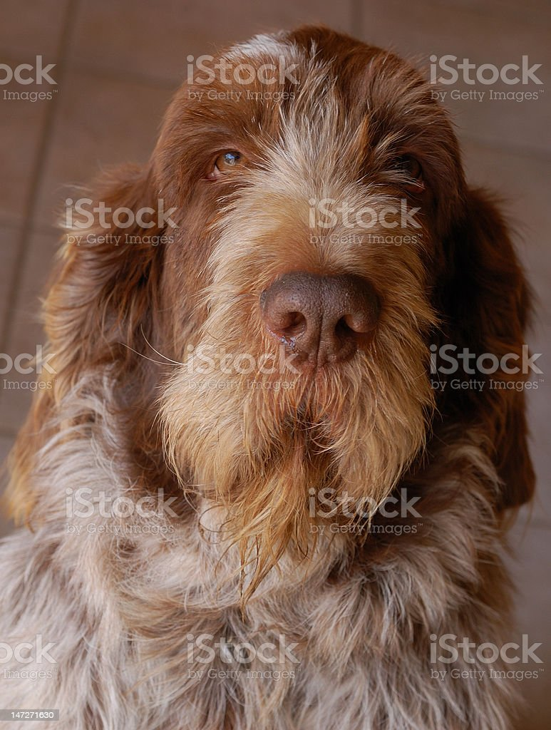 wirehaired pointing griffon dog stock photo