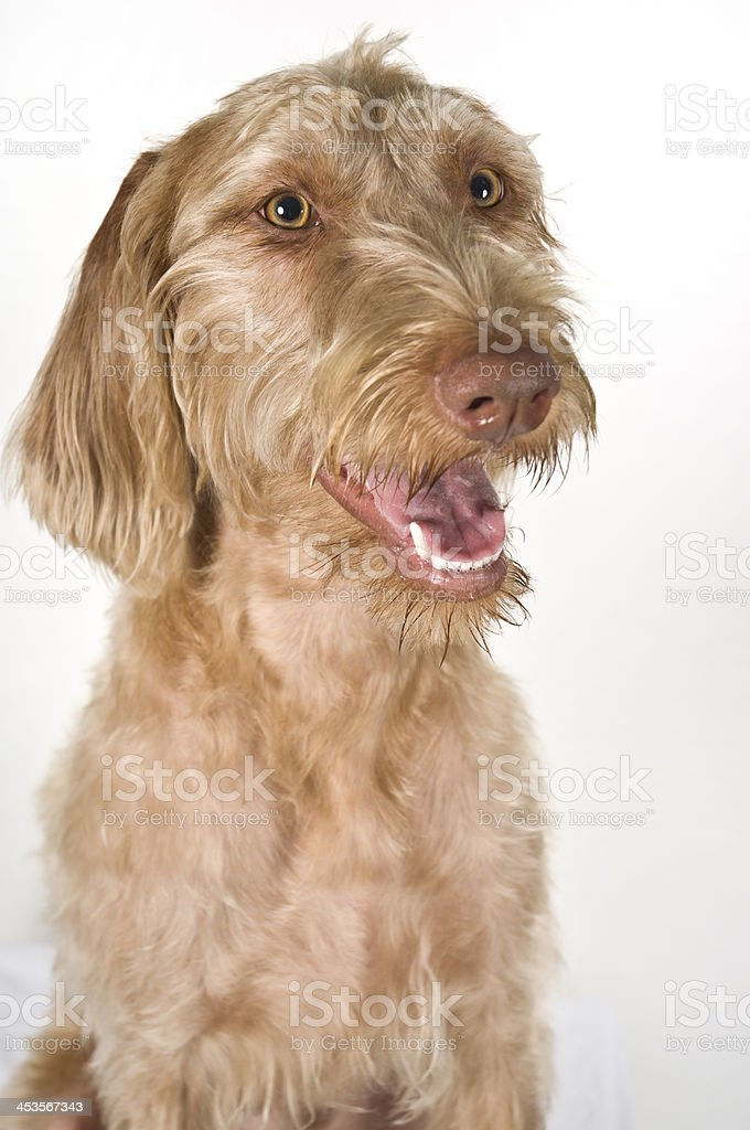 Wirehaired Vizsla Pet Headshot Portrait Pose Against White Background royalty-free stock photo
