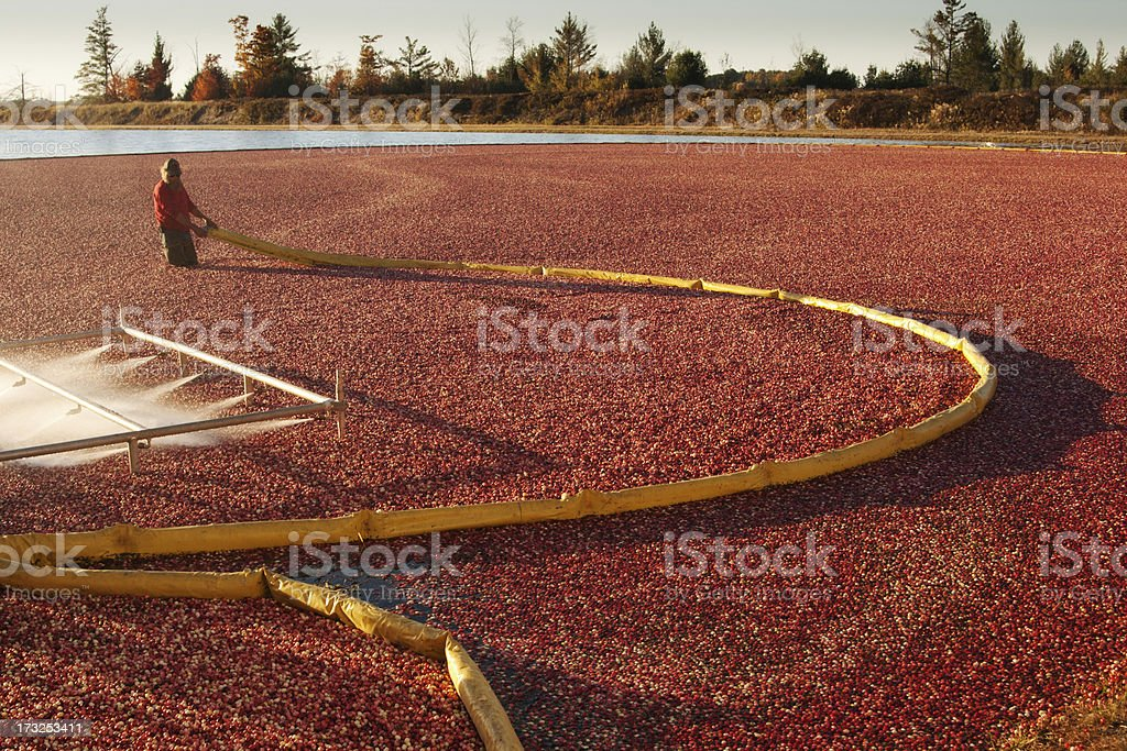 Wisconsin Cranberry Farm Field Crop with Farmer Harvesting in Bog stock photo