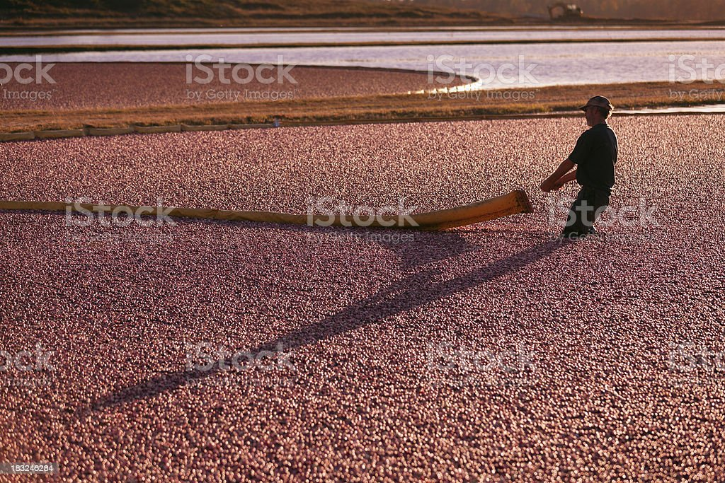 Wisconsin Worker Gathering the  Cranberries in Bog During Cranberry Harvest royalty-free stock photo