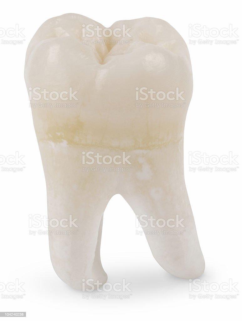 Wisdom Tooth royalty-free stock photo