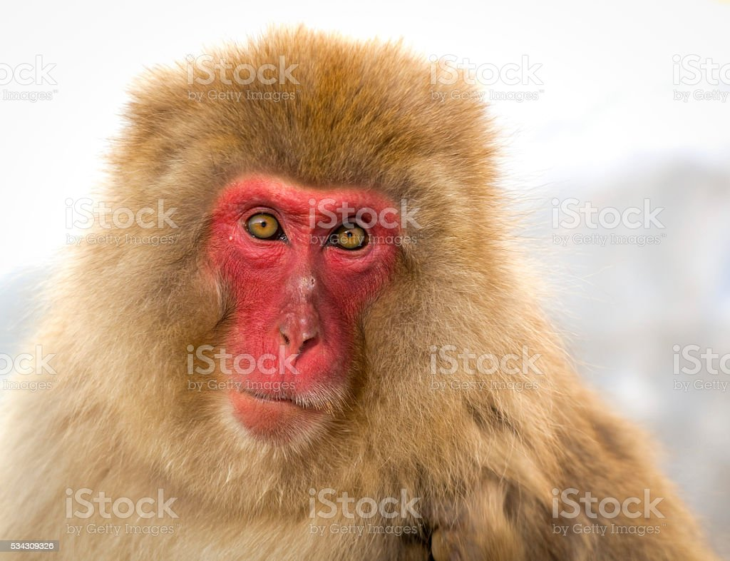 wise old Japanese macaque staring at viewer stock photo