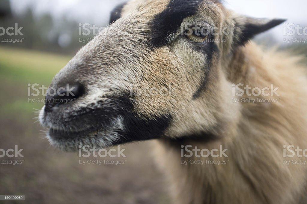 Wise sheep looks through royalty-free stock photo