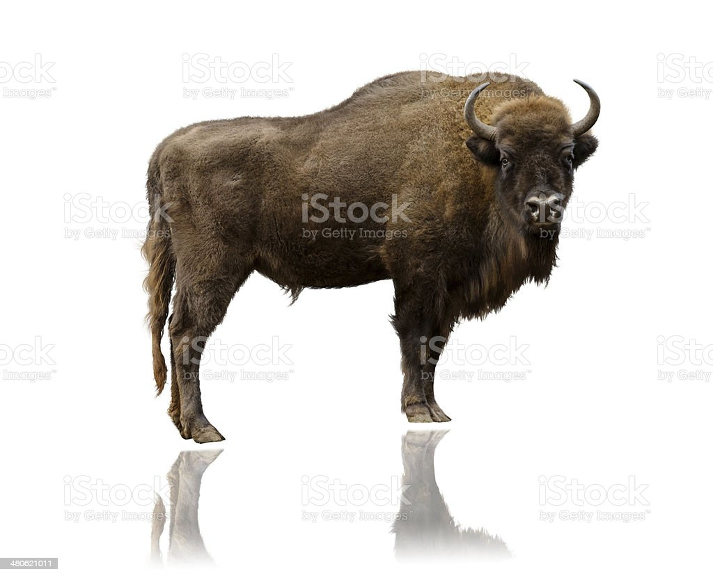 Wisent /Bison isolated on white stock photo