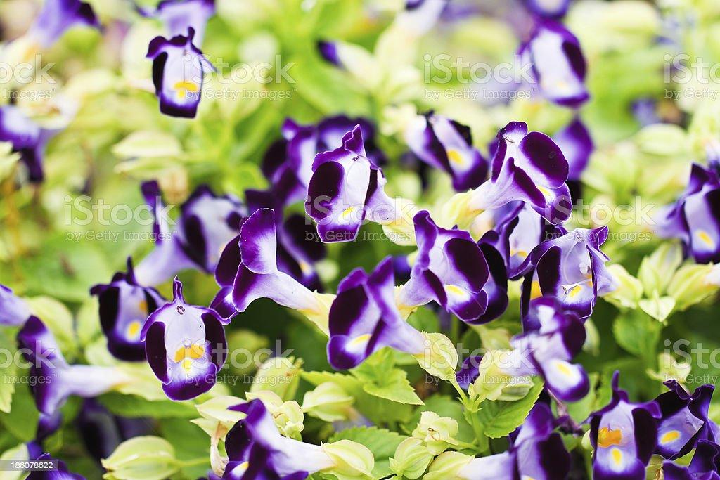 Wishbone flower royalty-free stock photo