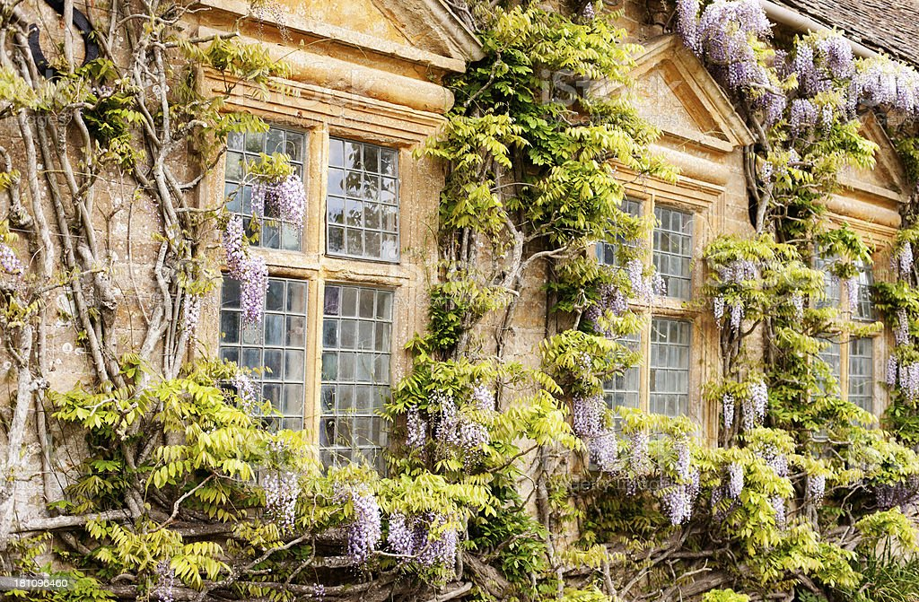 Wisteria around stone mullion windows stock photo