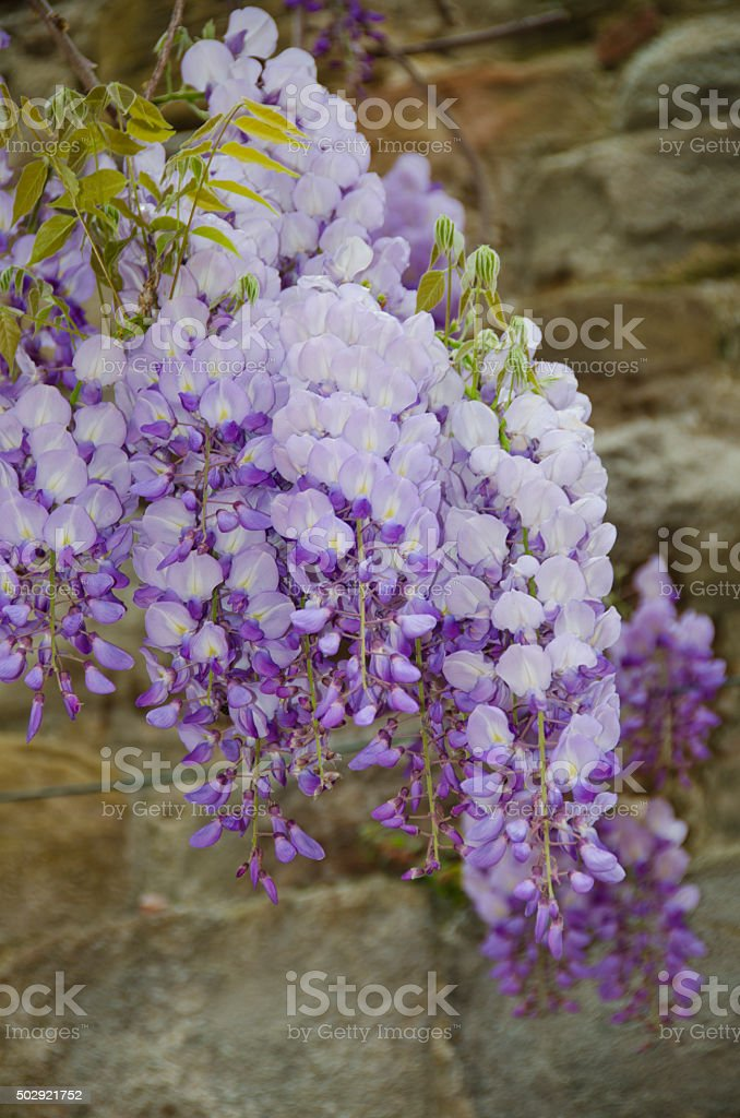 Wisteria Draped Over the Streets of Vinci, Italy stock photo