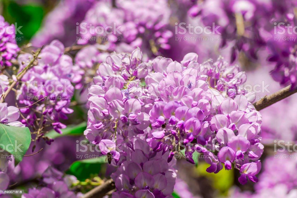 Wisteria flowers stock photo