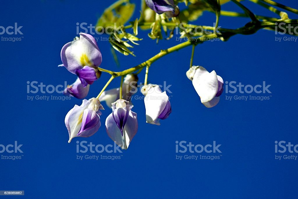 Wisteria Flowers With Sky Background stock photo