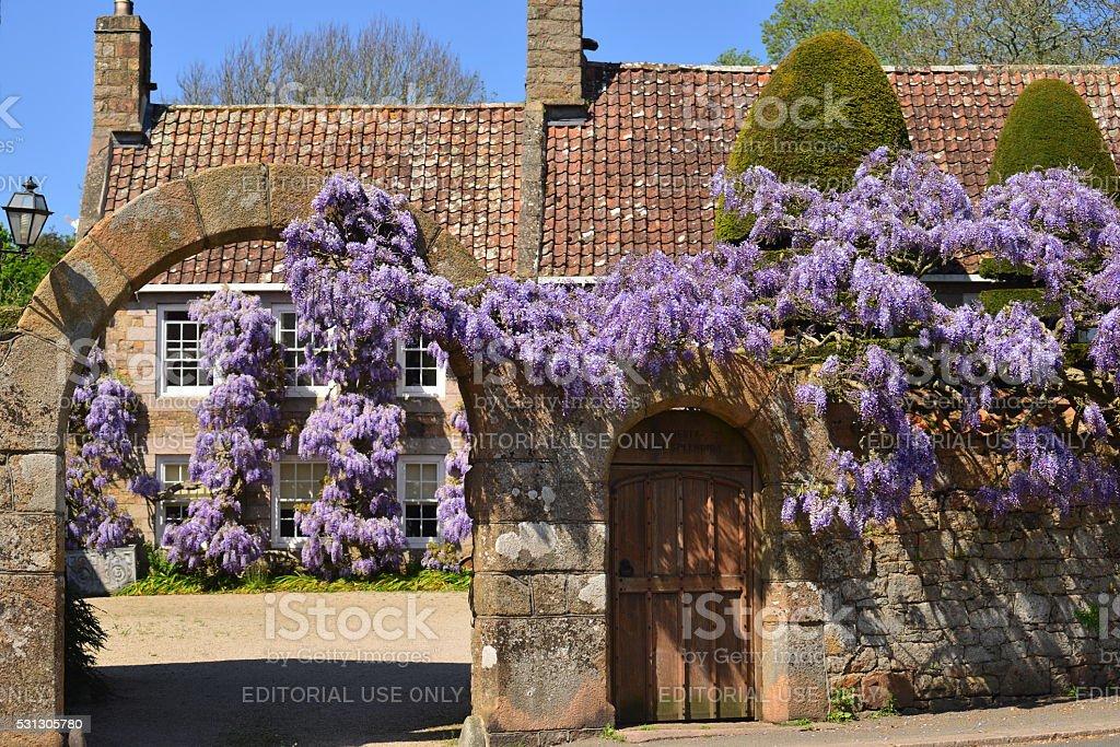Wisteria house, Jersey, U.K. stock photo