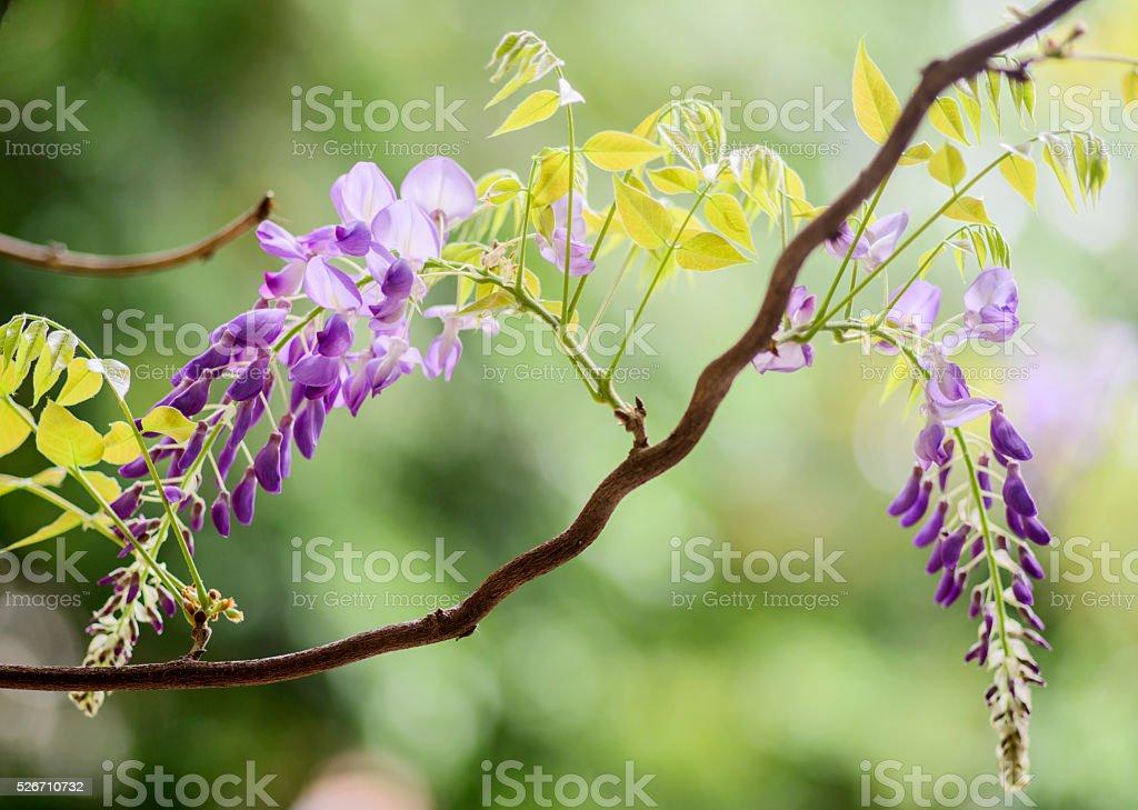 Wisteria in flower stock photo