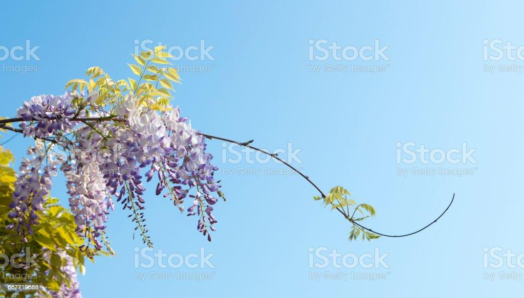 Wisteria in full bloom, Lake Garda Italy stock photo