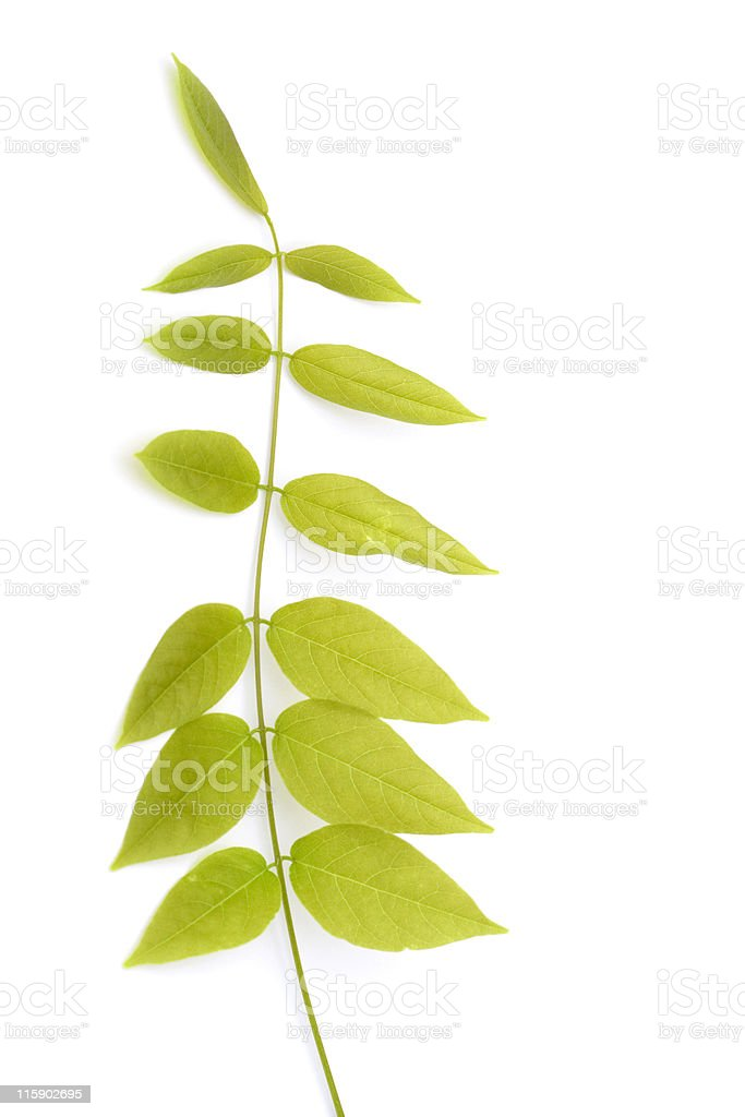 wisteria leaf royalty-free stock photo