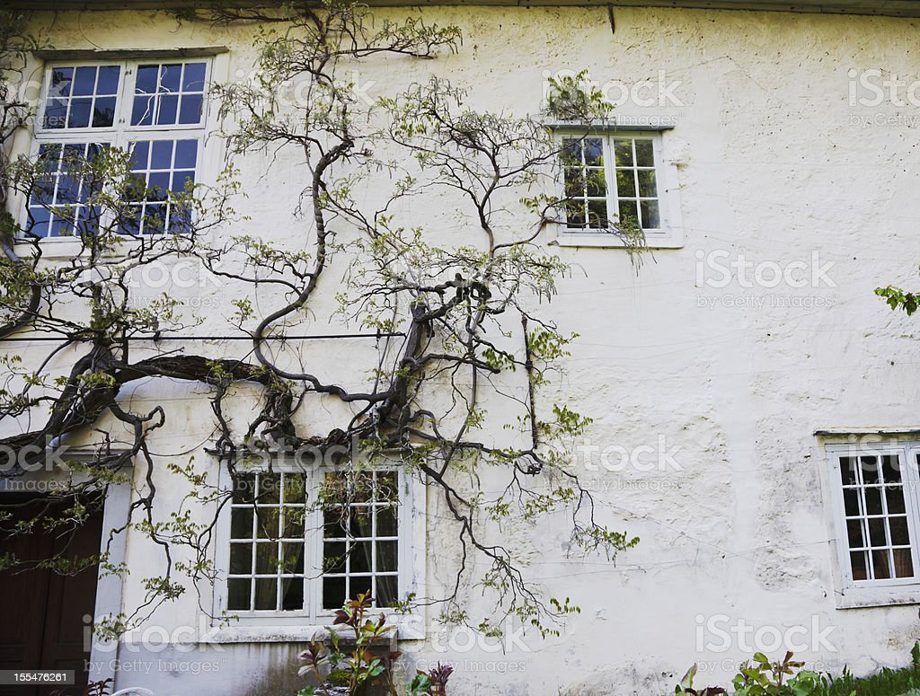 Wisteria on a white wall. royalty-free stock photo