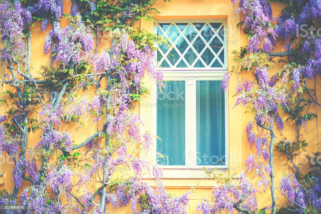 Wisteria on the house wall stock photo