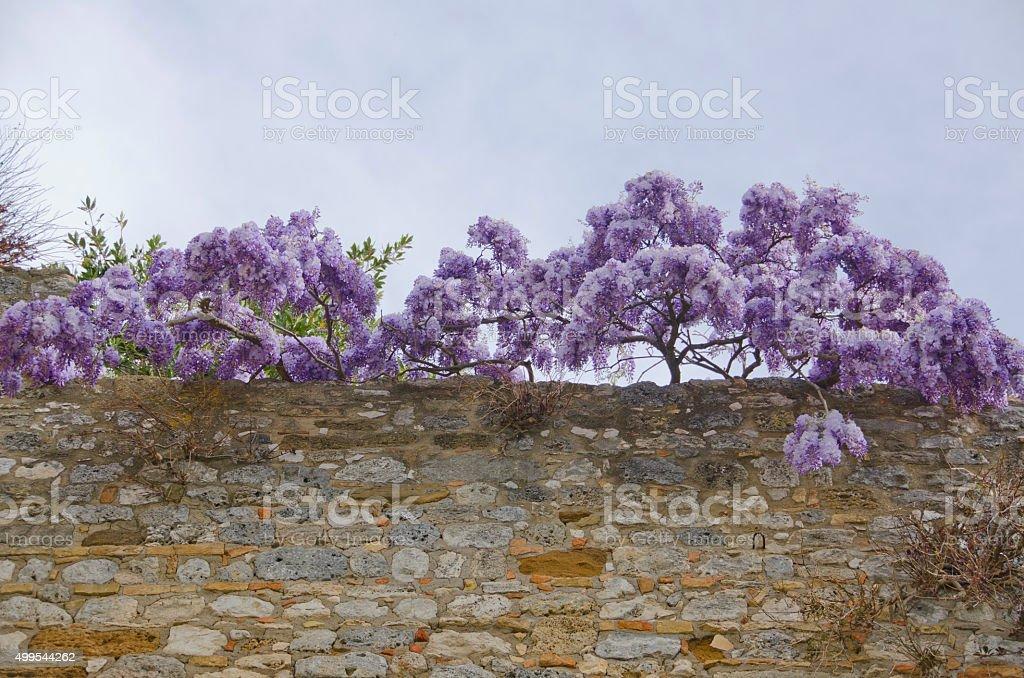 Wisteria on the Wall at San Gimignano, Italy stock photo