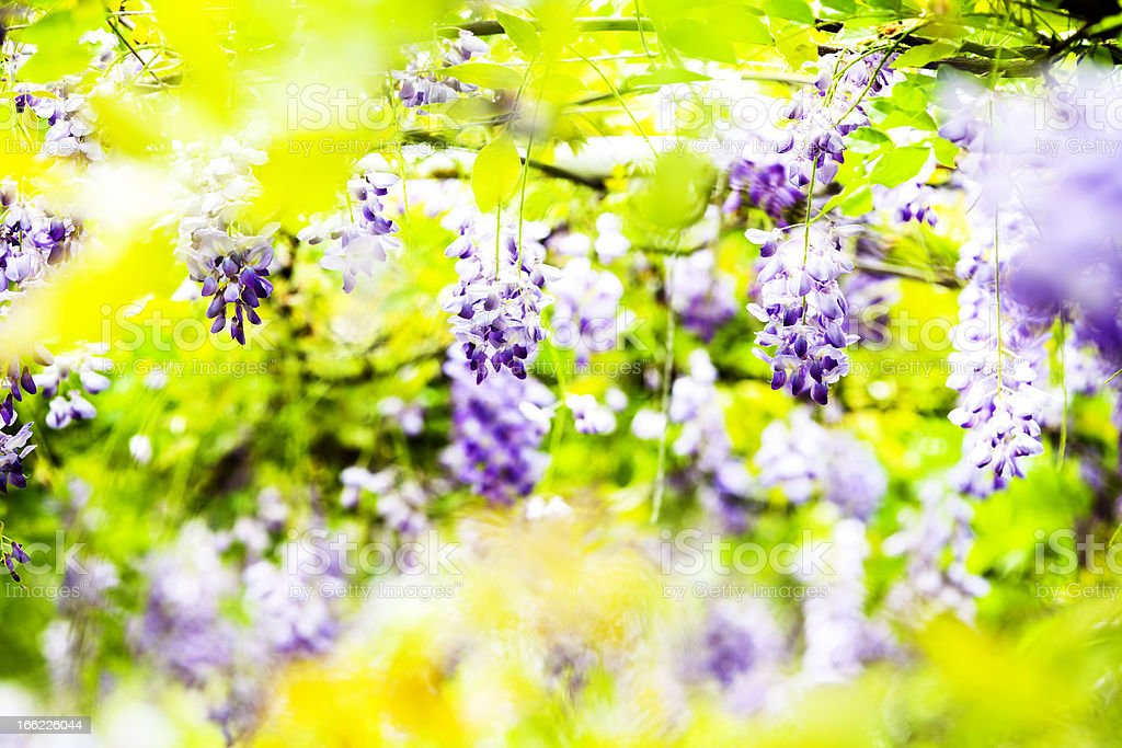 wisteria stock photo
