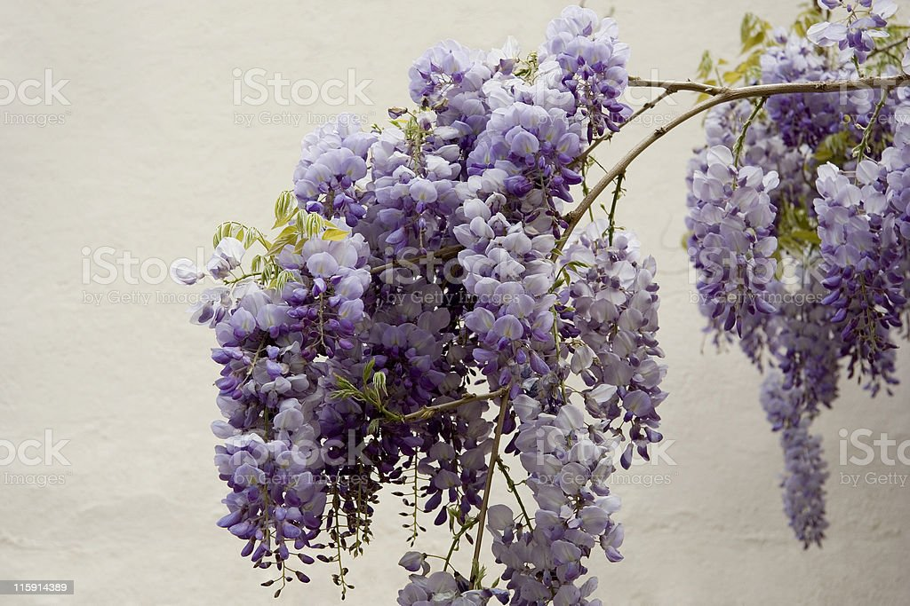 wisteria sinensis bloom royalty-free stock photo