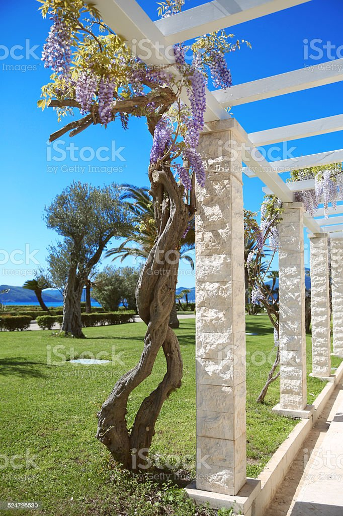 wisteria tree blossom isolated on blue sky, springtime nature pa stock photo