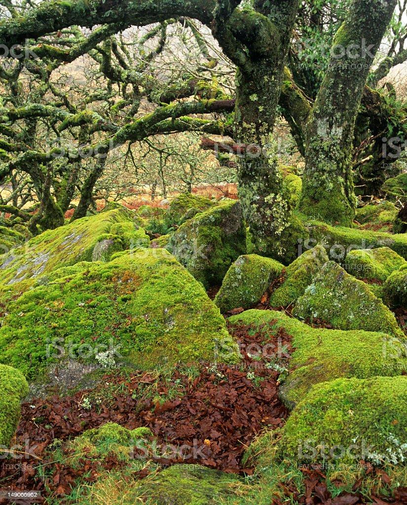 Wistman's wood ancient oak forest, Dartmoor, UK royalty-free stock photo
