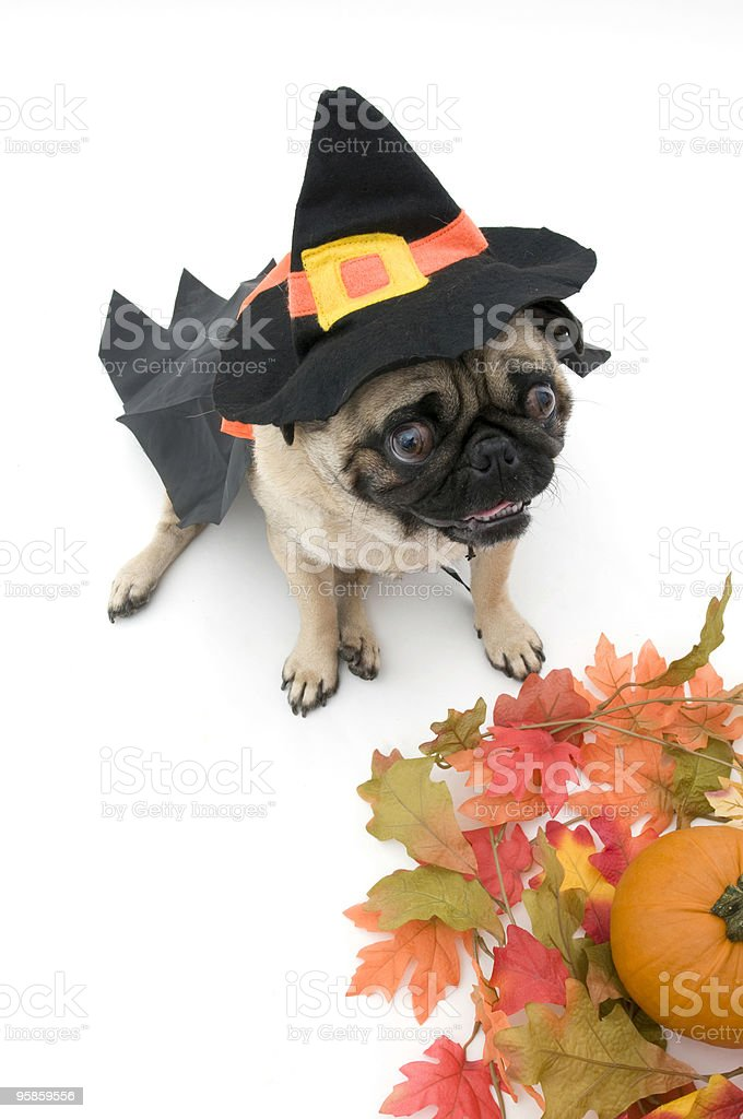 Witch Pug for Halloween stock photo