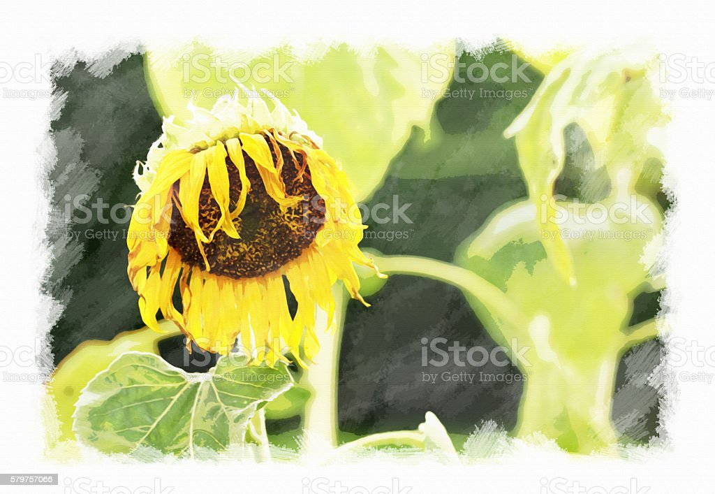 Wither sunflower, watercolor on canvas texture. stock photo