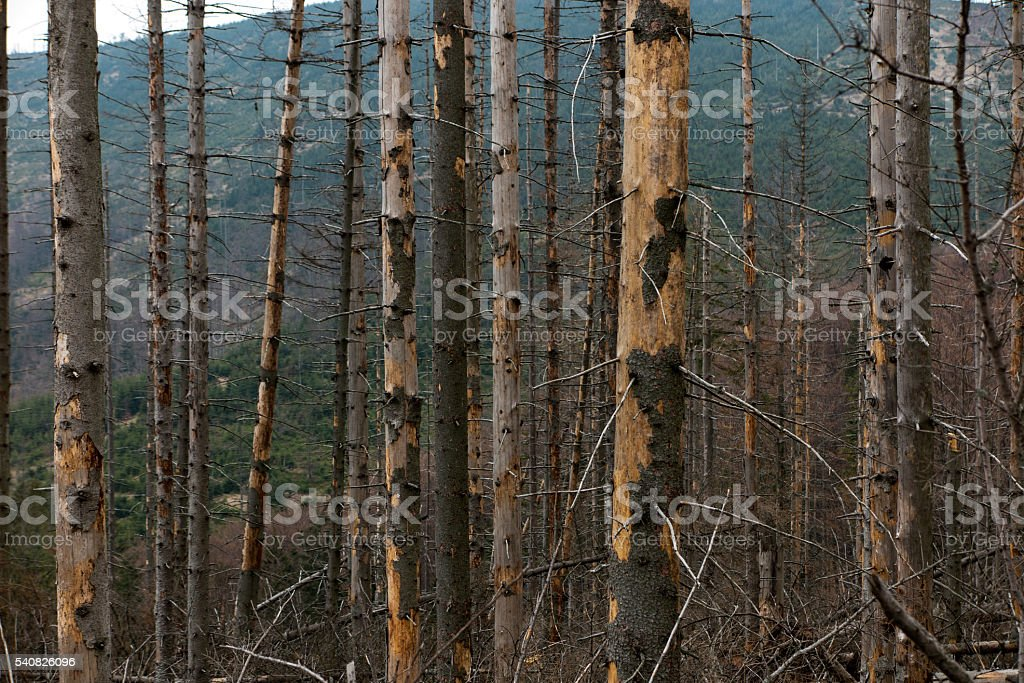 Withered coniferous forest in the mountainous terrain, Beskid Sl stock photo