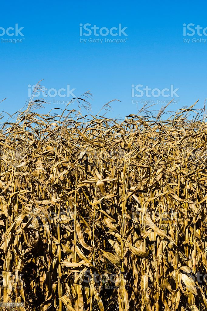 Withered Corn Field stock photo