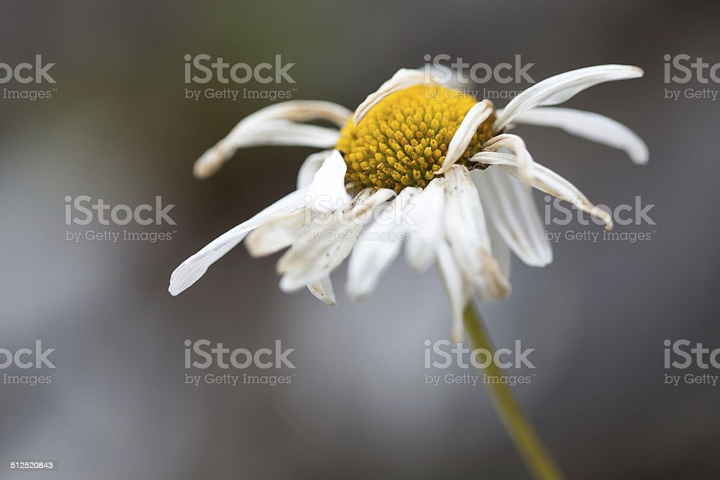 Withered Daisy royalty-free stock photo