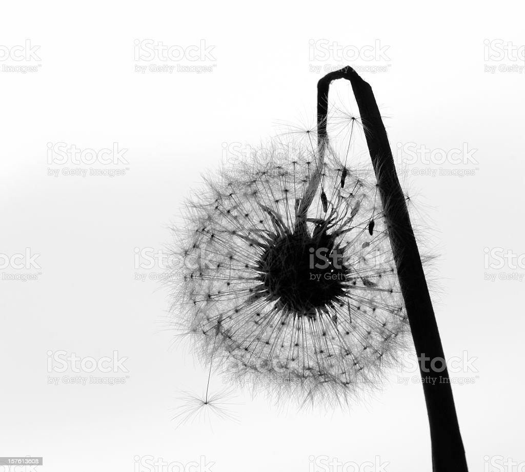 Withered dandelion in seed - black and white stock photo