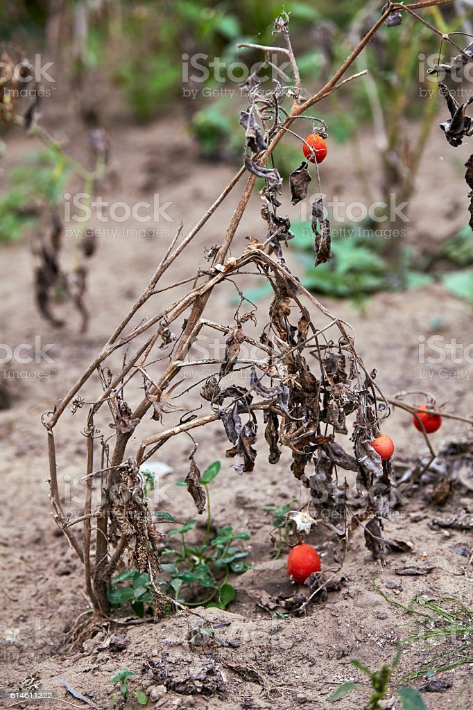 Withered dying tomato plant stock photo