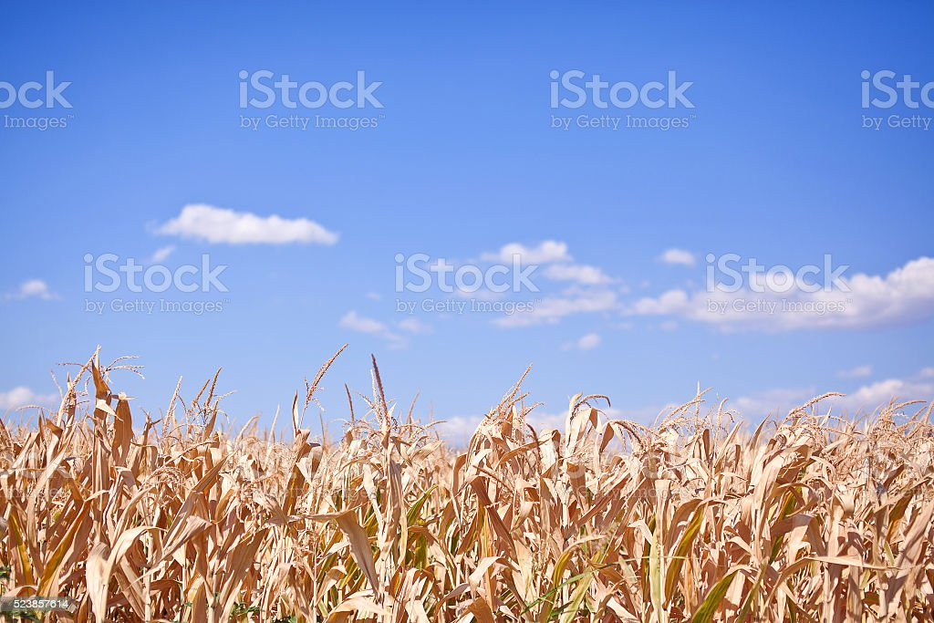 Withered field of corn on background of blue sky stock photo