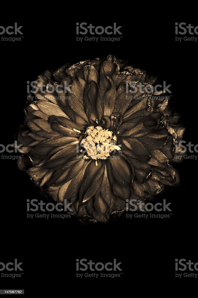Withered flower royalty-free stock photo