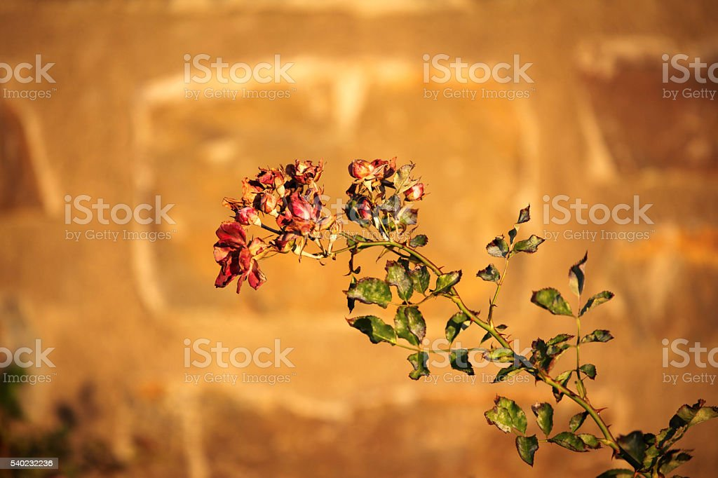Withered flowers are standing against wall during sunset. stock photo