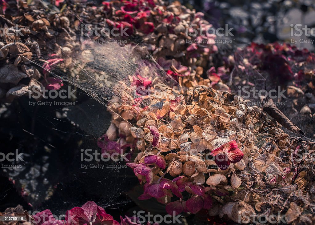Withered Hortense coverd by cobwebs stock photo