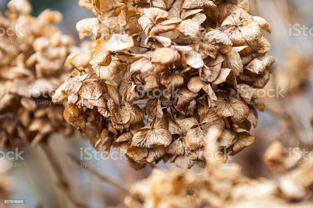 Withered hydrangea (hortensia) flowers stock photo