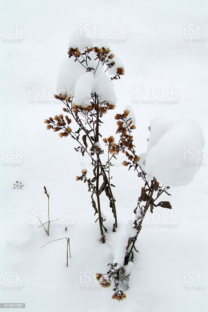 Withered plant in the snow royalty-free stock photo