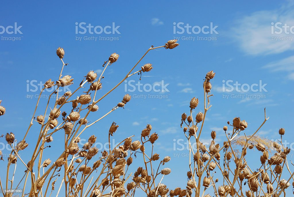 Withered poppy flowers royalty-free stock photo