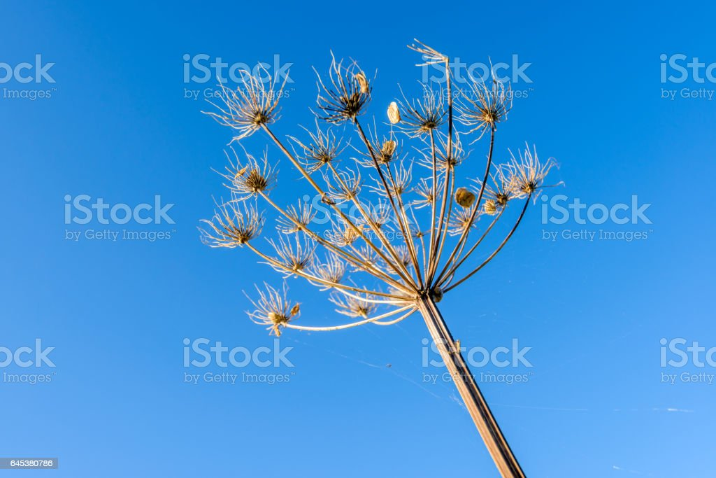Withered Queen Anne's Lace against a blue sky stock photo