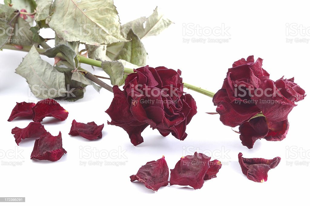 Withered red roses. Isolated on white royalty-free stock photo